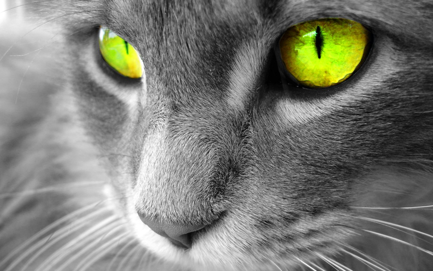 Best Desktop HD Wallpaper   Cat Desktop wallpapers 1440x900