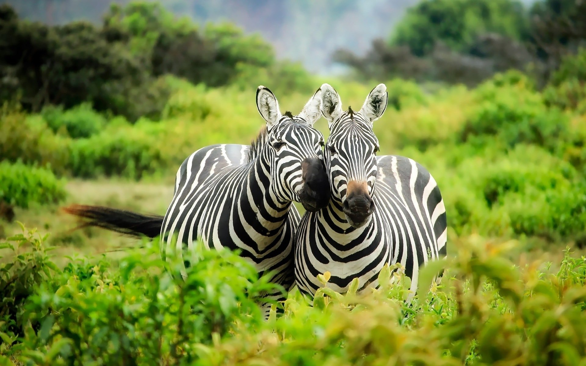 couple zebras cute animals 3352 Wallpapers and Stock Photos 1920x1200