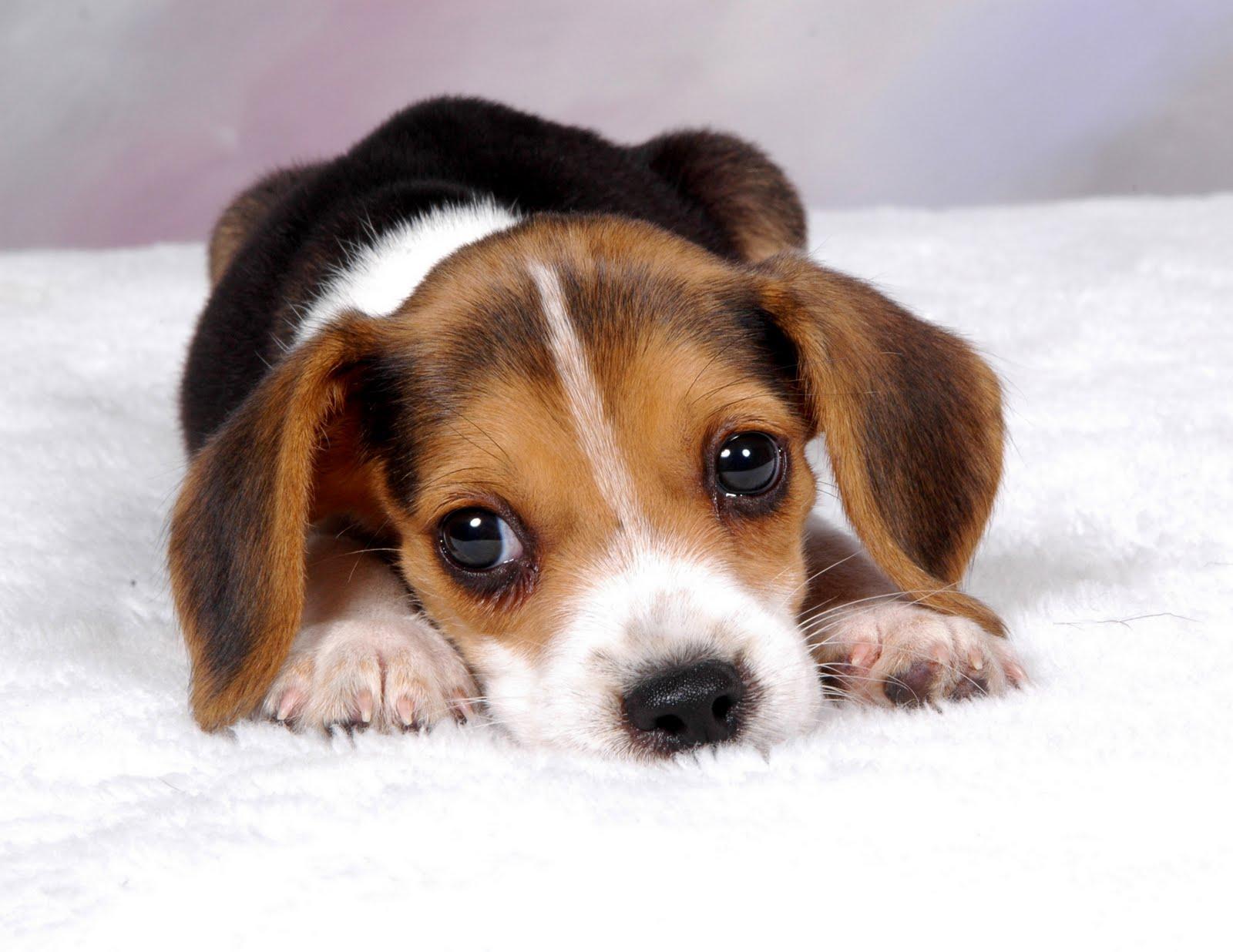 Puppy Backgrounds wallpaper Beagle Puppy Backgrounds hd wallpaper 1600x1236