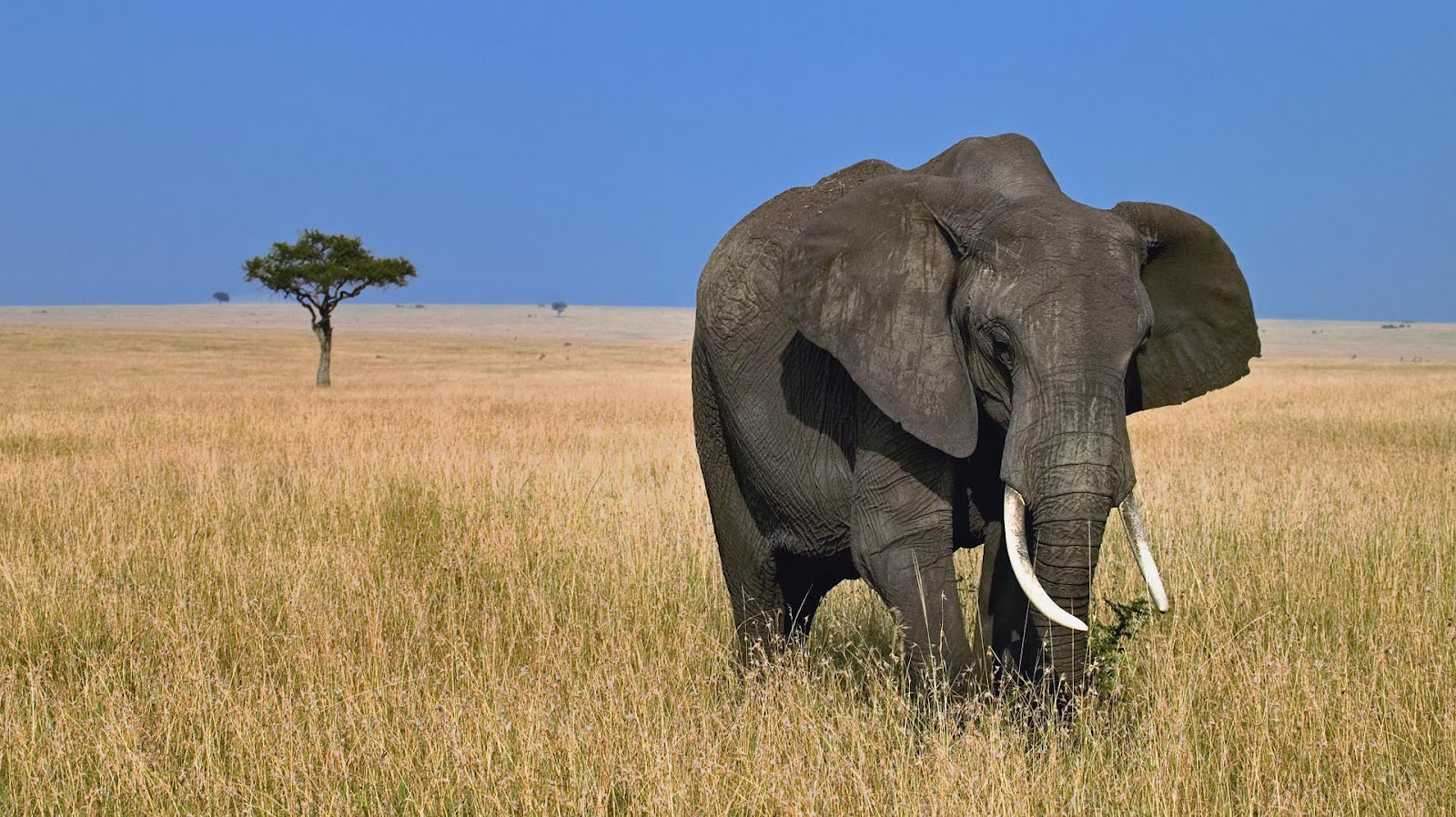 HD Elephants Wallpapers and Photos HD Animals Wallpapers 1600x898