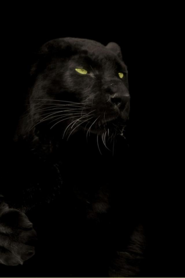 Cats animals black panther wallpaper 25060 640x960