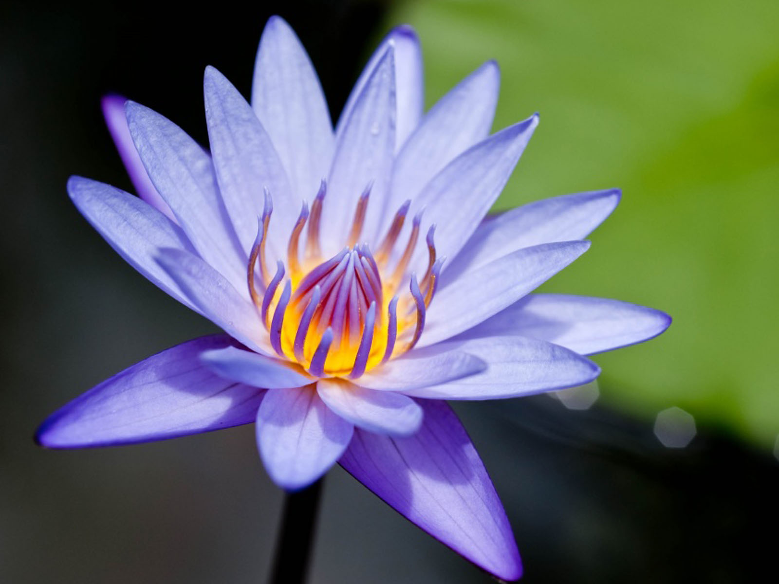 Water lily flowers wallpapers 1600x1200