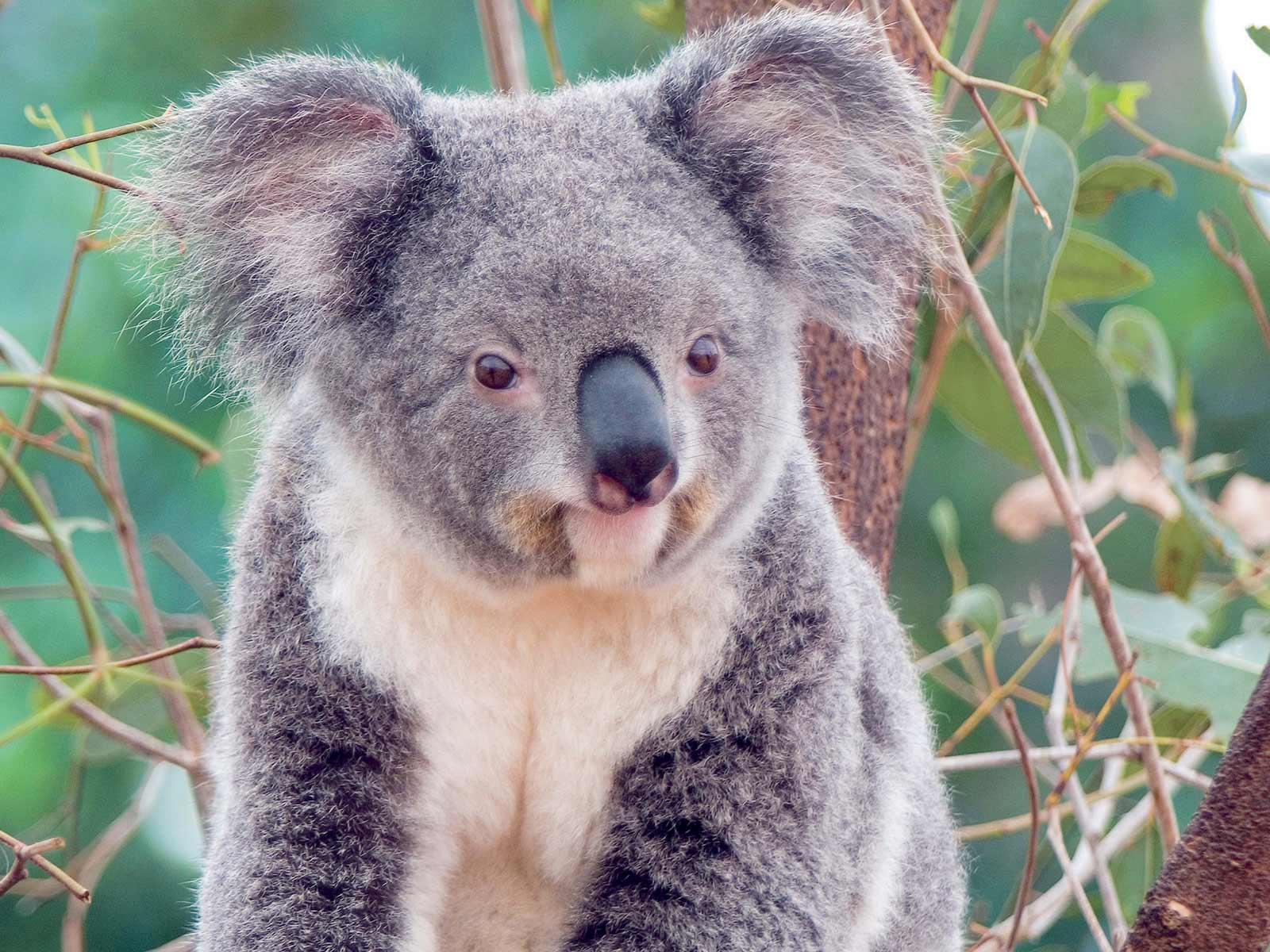 Kali Wallpaper Cute Koala Bear HD Wallpapers 1600x1200