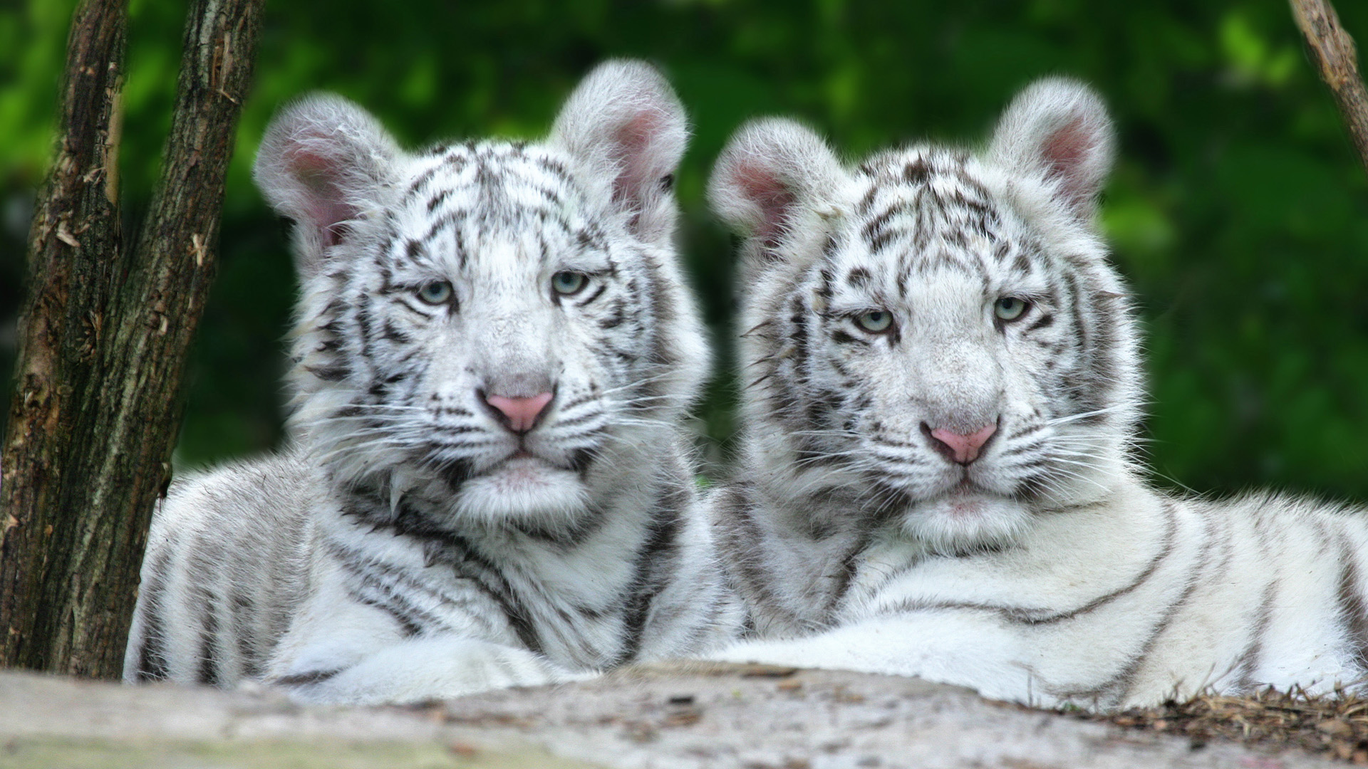 baby white tiger wallpaper which is under the tiger wallpapers 1920x1080