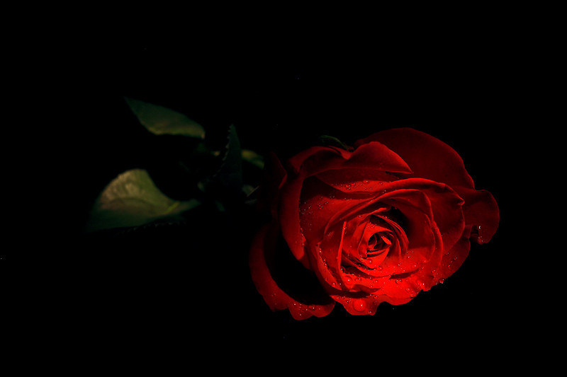 800x533px Red Rose Black Background