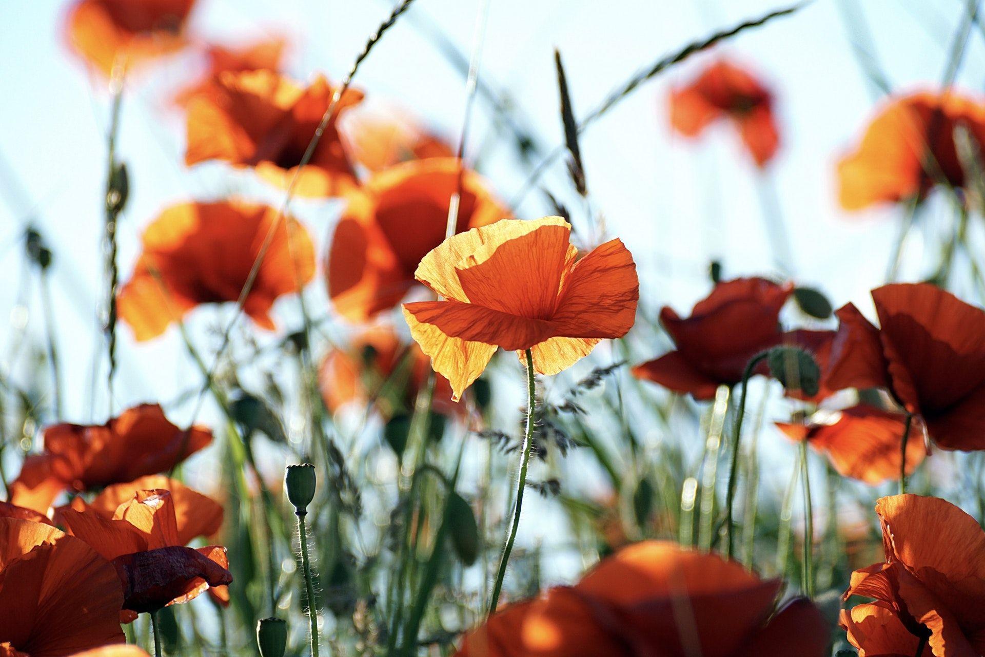 Beautiful Poppy Flower Wallpaper HD Images 1920x1280