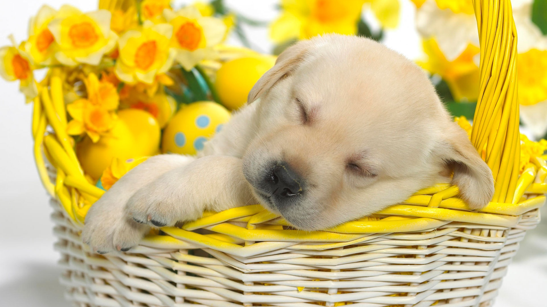 Spring puppy wallpaper   ForWallpapercom 1920x1080