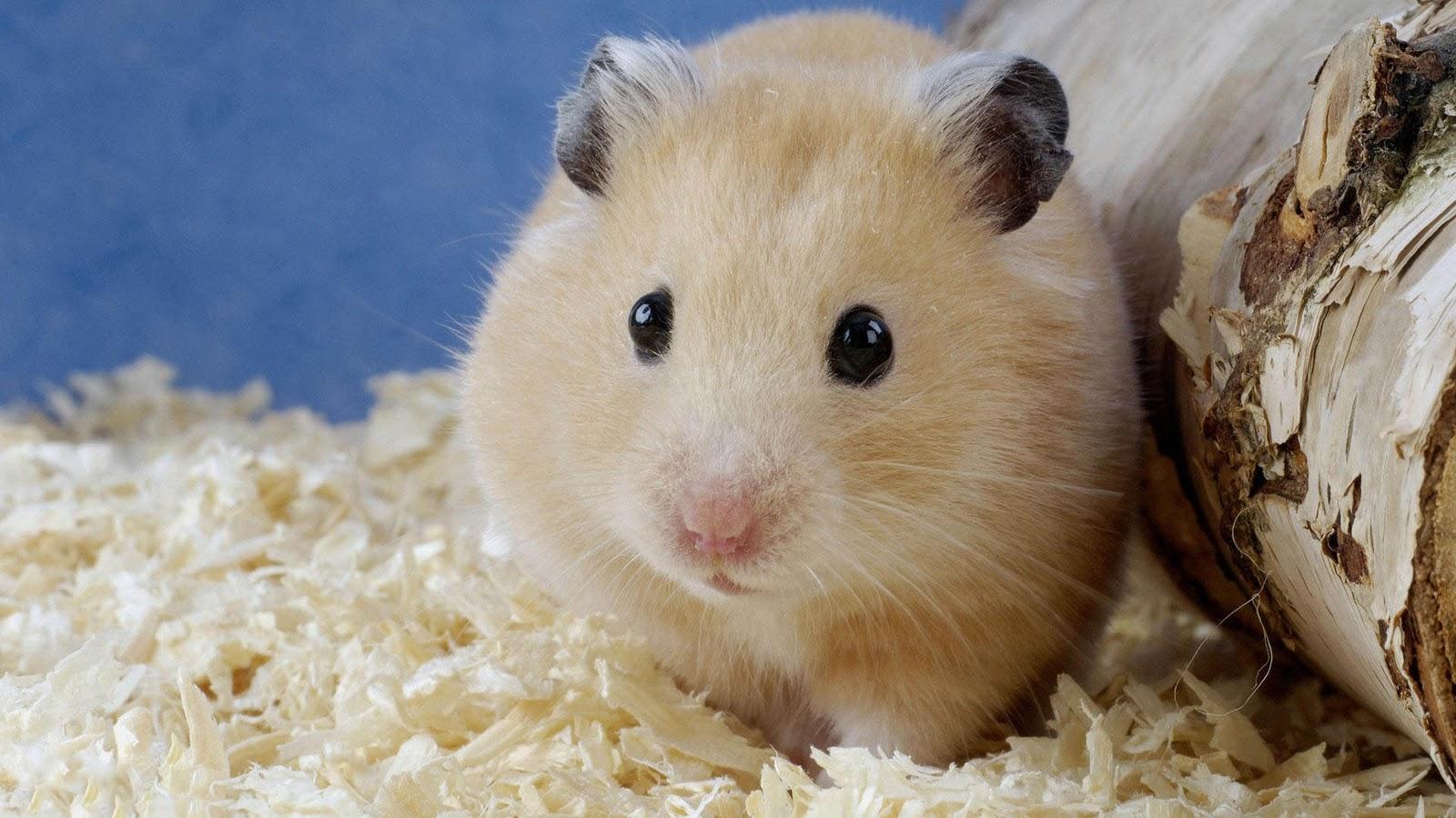Free Hamster Videos