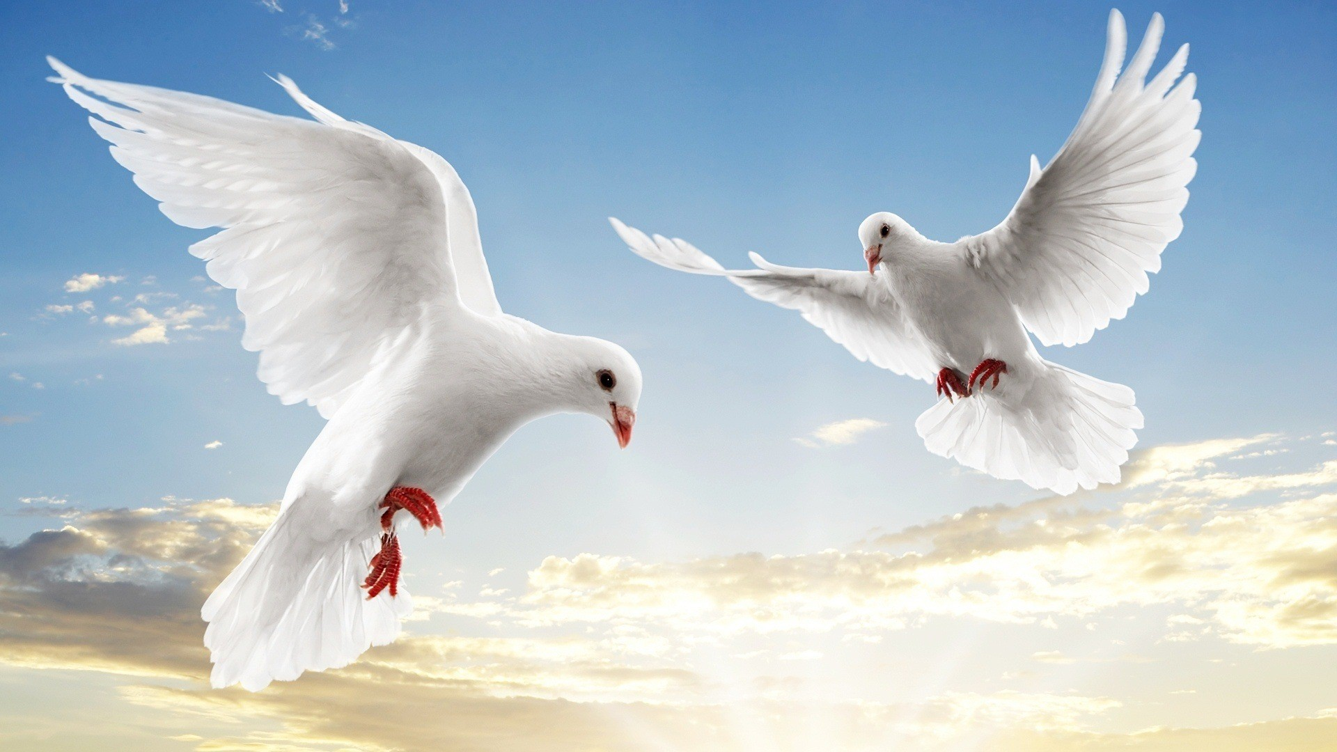 Pigeons HD Wallpapers Pictures Images Backgrounds Photos 1920x1080
