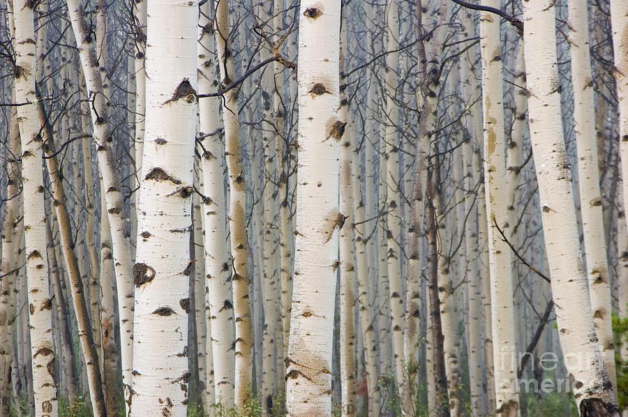 White Birch Tree Forest Photograph 900x598