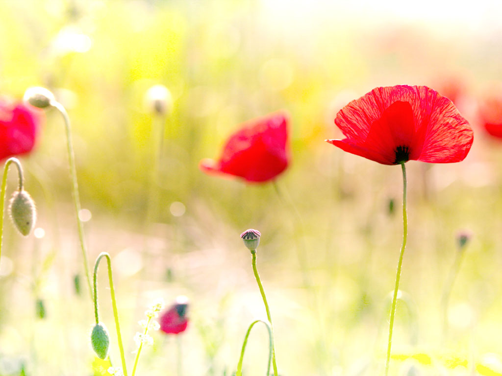 wallpaper Poppy Flowers Desktop Wallpapers 1024x768