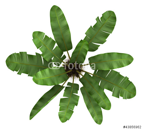top view of wild banana palm tree isolated on white background Stock 500x455