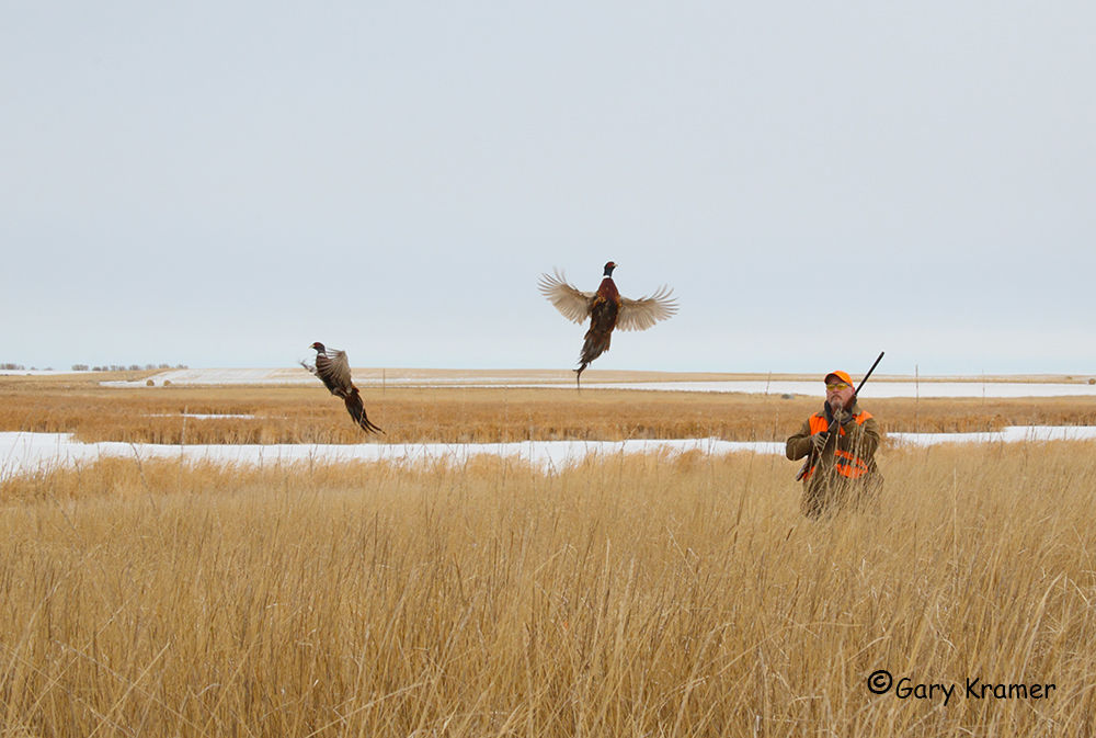 pheasant hunting pictures - 1000×673