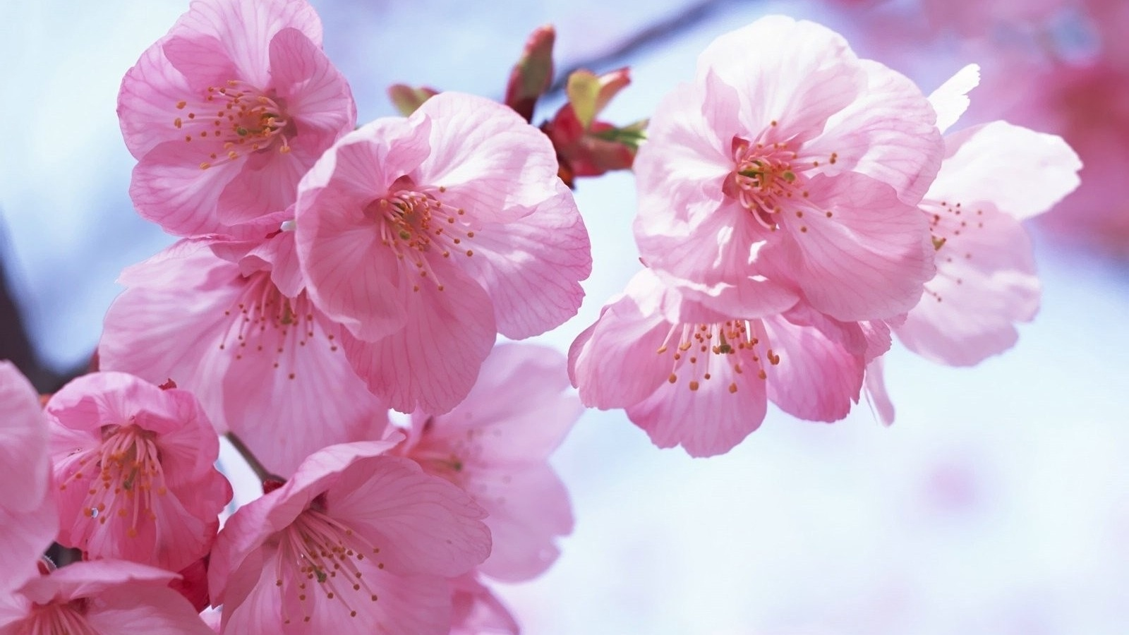 Pink spring flower wallpaper wallpapersafari - Red flower desktop wallpaper ...