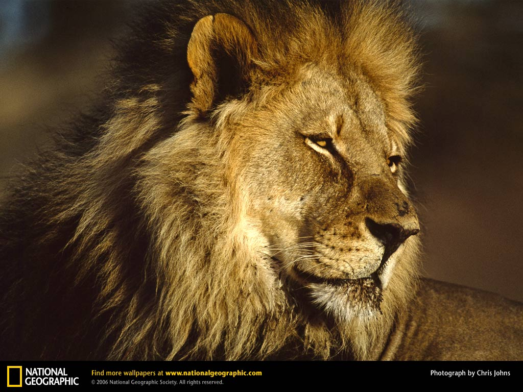 Male Lion Hunting Wallpaper Wallpapers Gallery 1024x768
