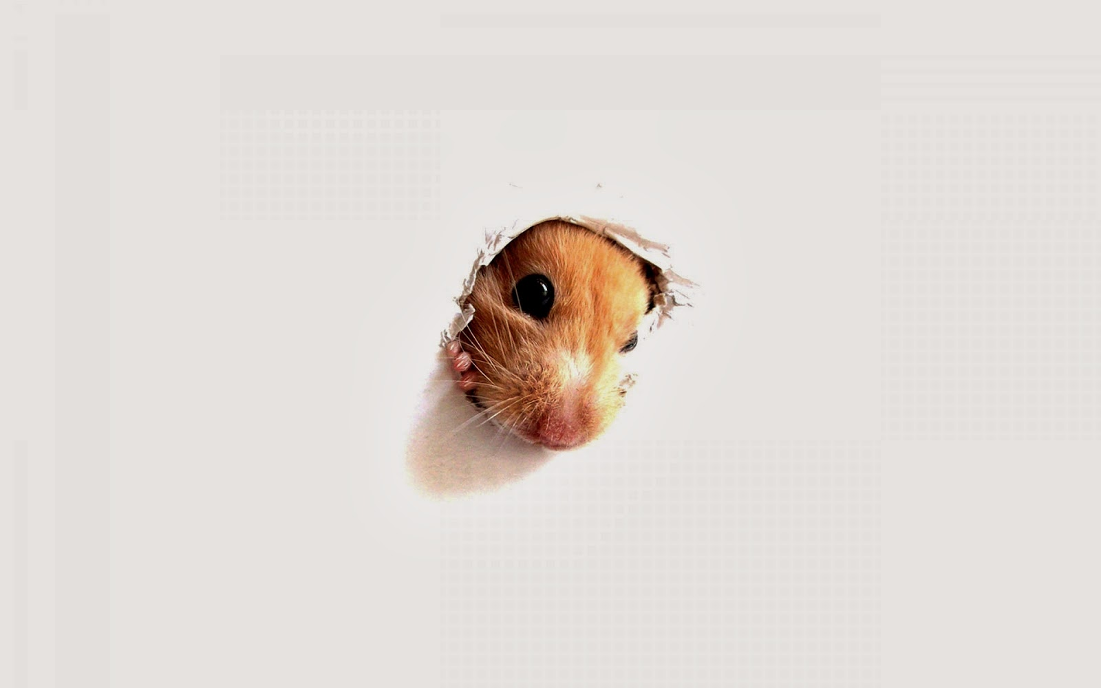 Hamster Wallpapers HD   Beautiful wallpapers collection 2014 1600x1000