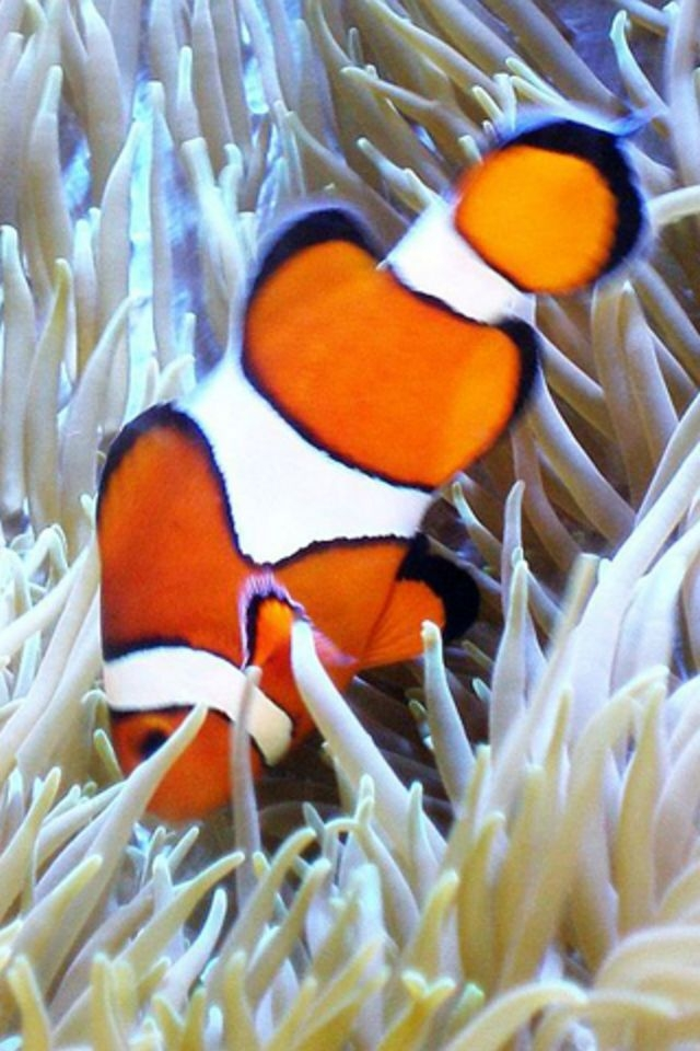 Clown Fish iPhone HD Wallpaper iPhone HD Wallpaper download iPhone 640x960
