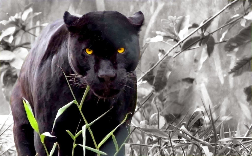 angry black panther images black panther wallpaper widescreen 1024x637
