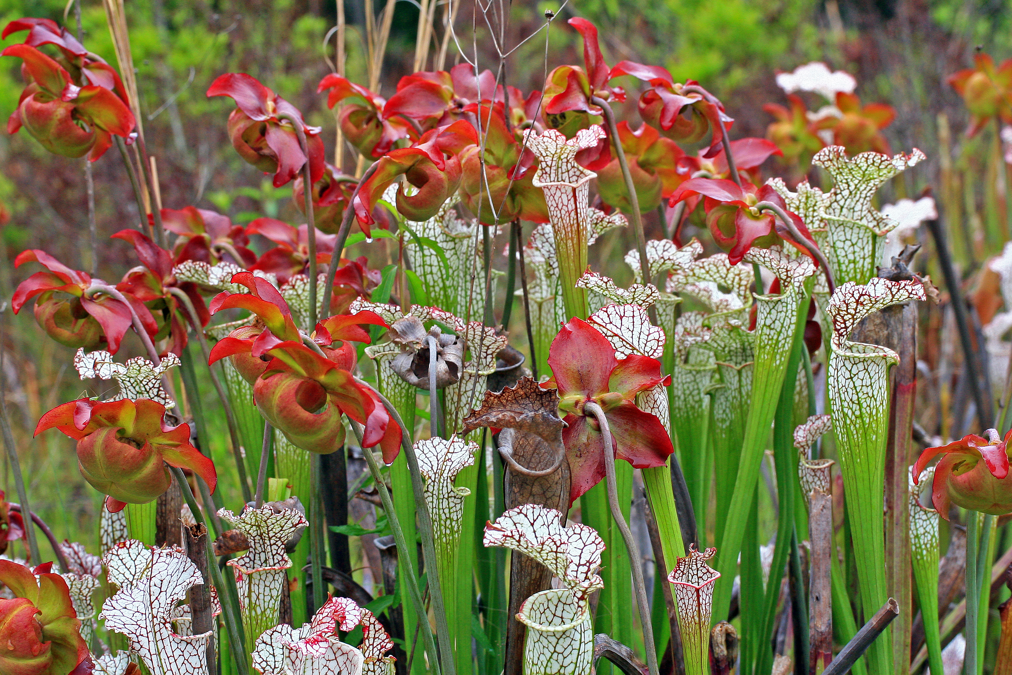 ha white topped pitcher plants high resolution HD Wallpaper of Flowers 3504x2336