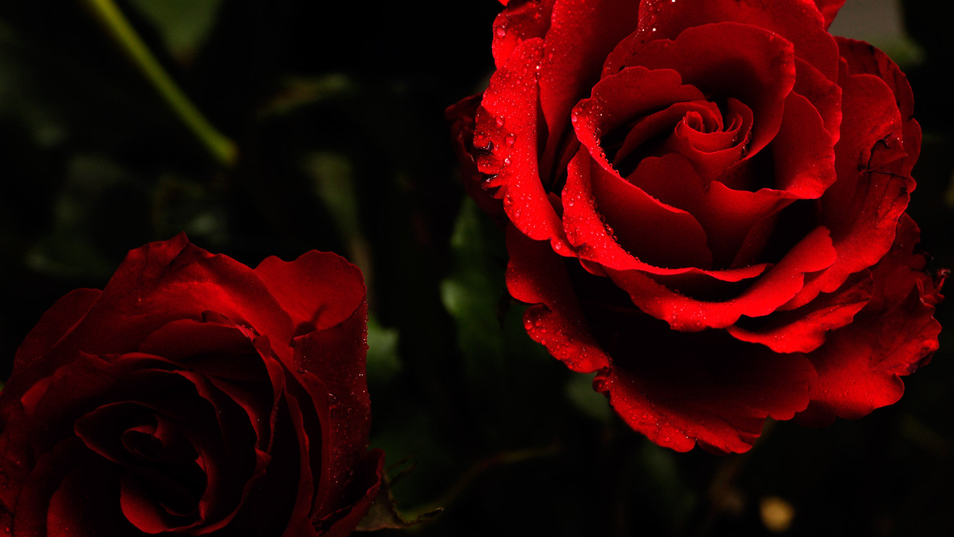red roses on a dark background wallpapers and images   wallpapers 1920x1080