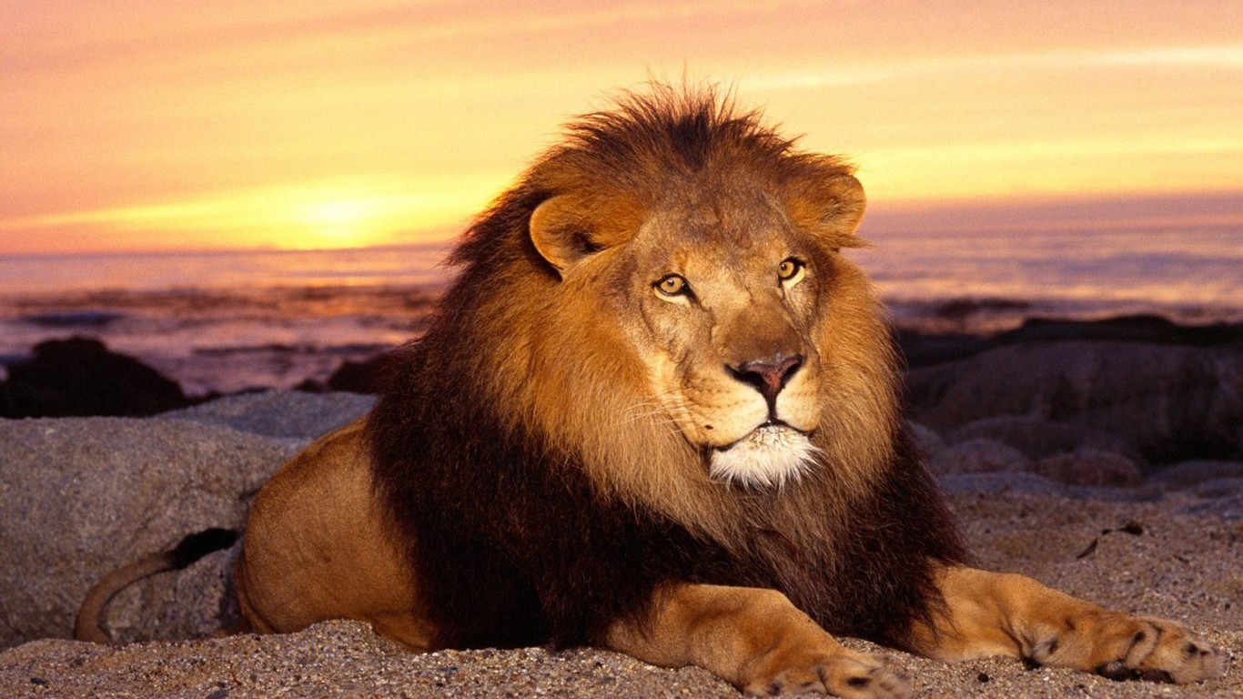 HD LION WITH EVENING VIEW Wallpapers Screensavers   Ventubecom 1366x768