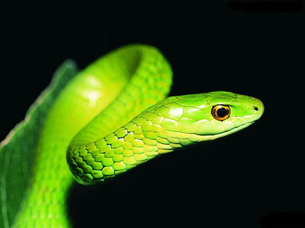 72 Snake Wallpaper On Wallpapersafari