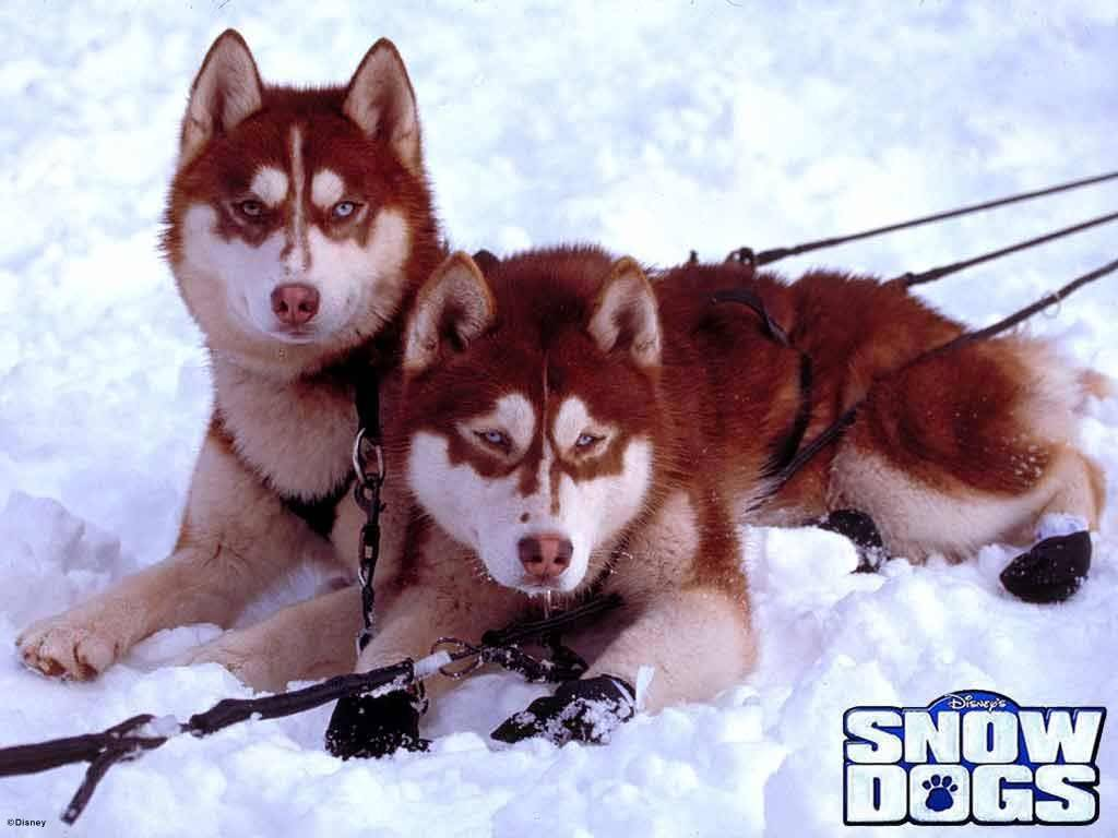 Snow Dogs Wallpapers 1024x768