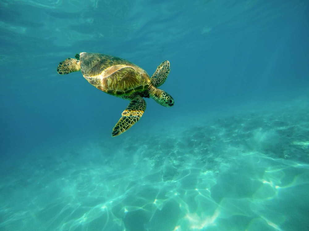 100 Sea Turtle Pictures Download Images on Unsplash 1000x750