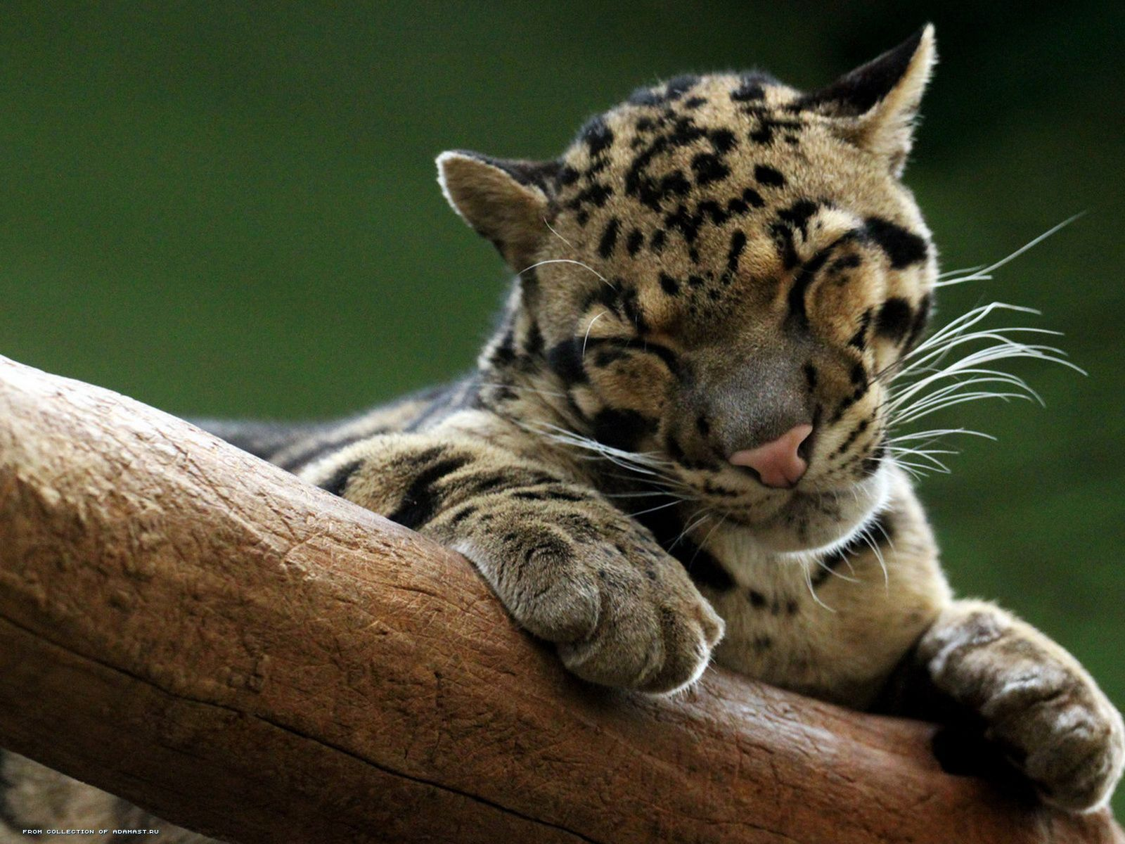Pictures Clouded leopard Wallpaper wallpapers pictures 1600x1200