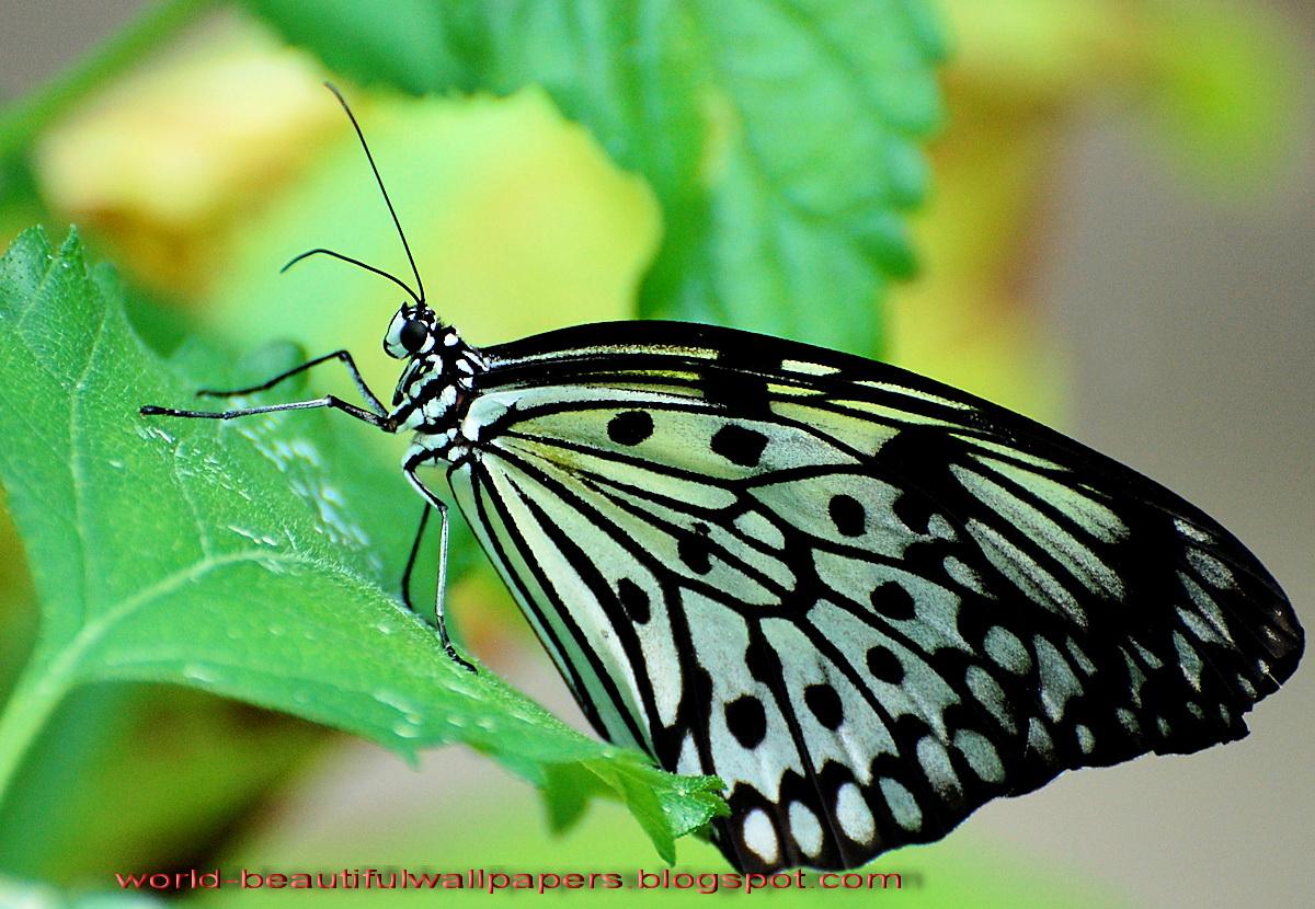 Beautiful Wallpapers Beautiful Butterflies Wallpaper 1200x830