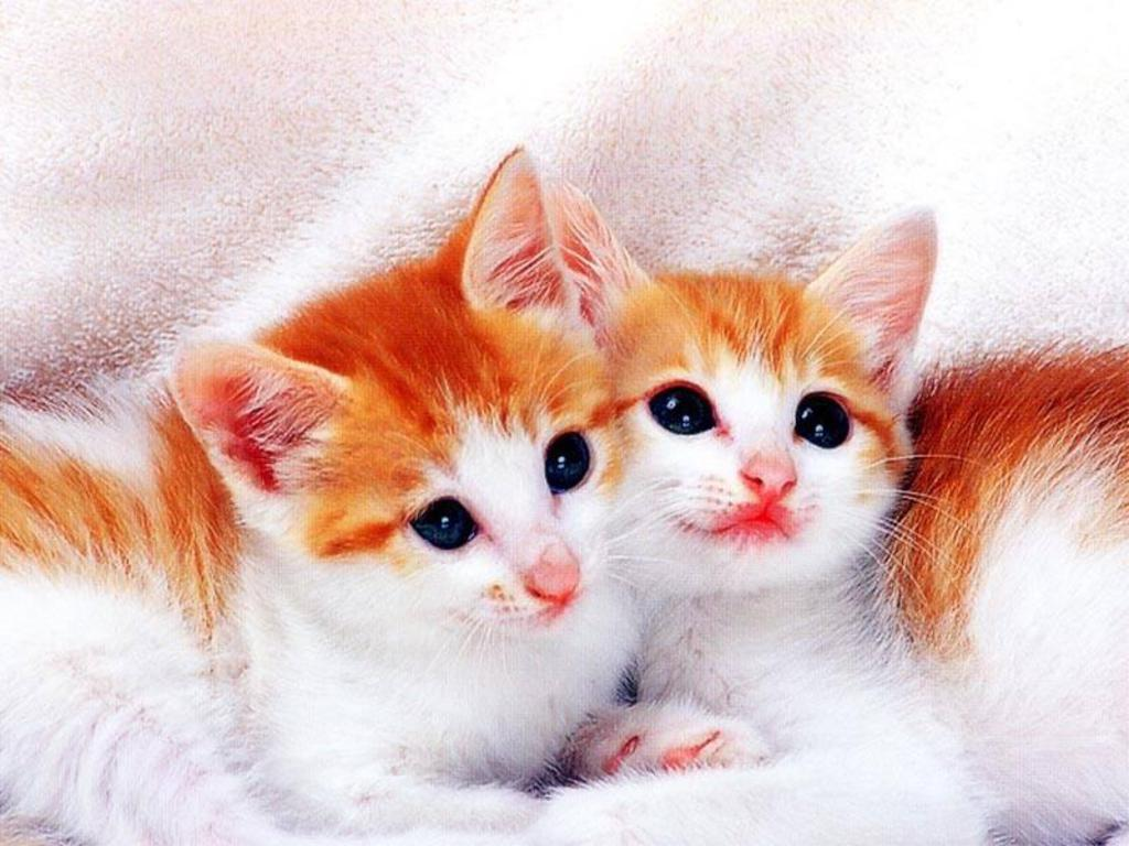 Wallpapers He Wallpapers cute cats wallpapers 1024x768