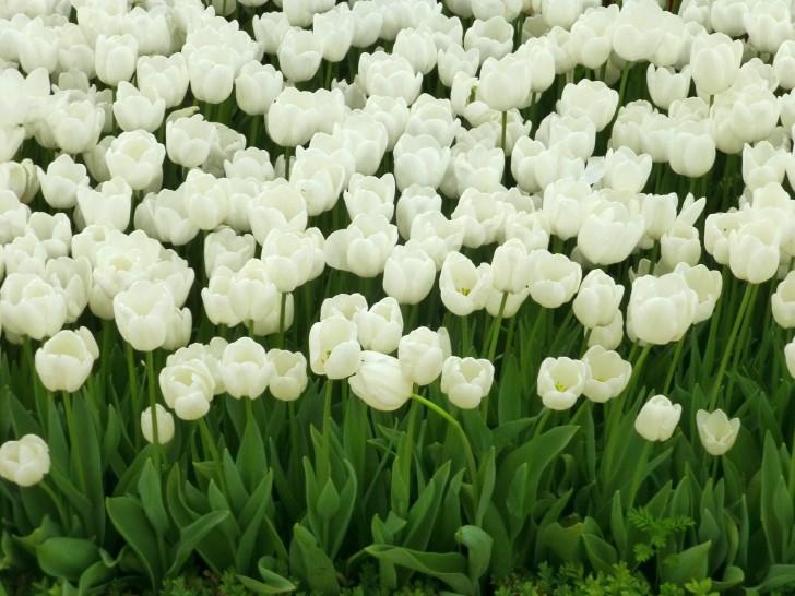 <b>Tulip Wallpapers</b> - <b>Wallpaper</b> Cave