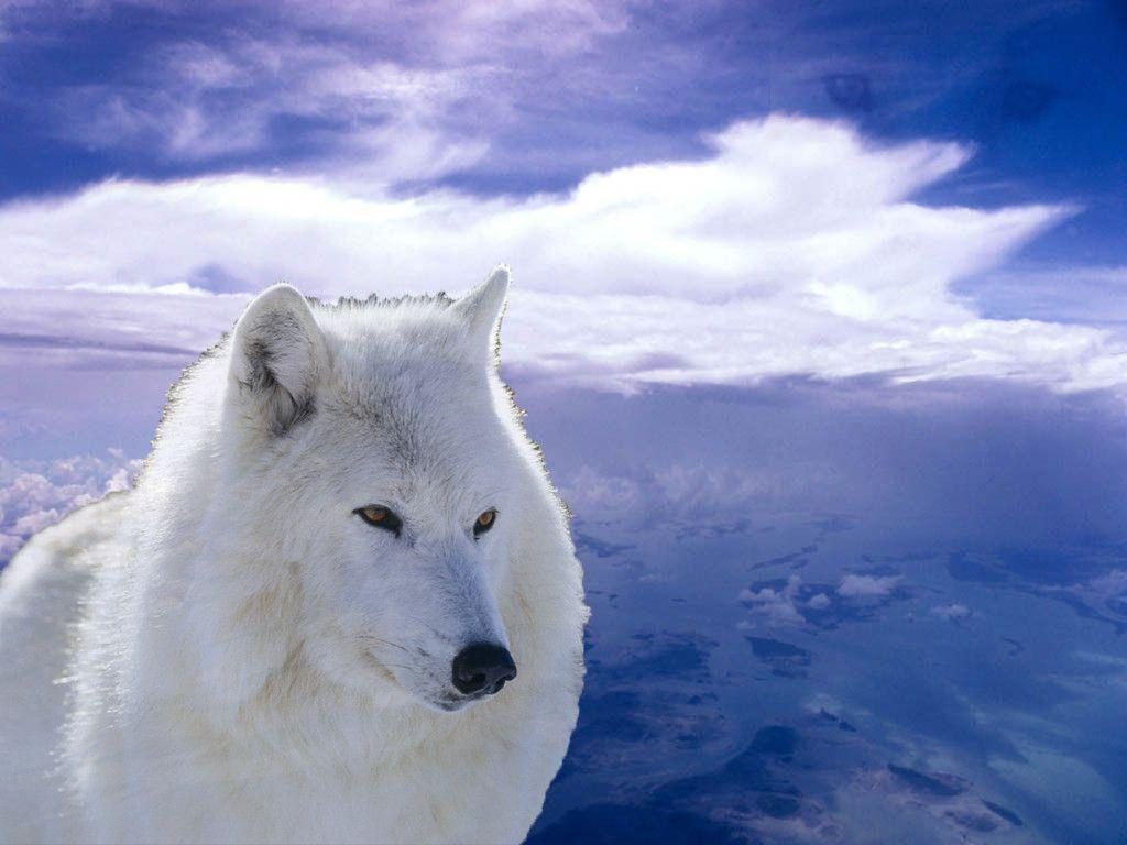 Free Download Arctic Wolf Wallpapers 1024x768 For Your Desktop