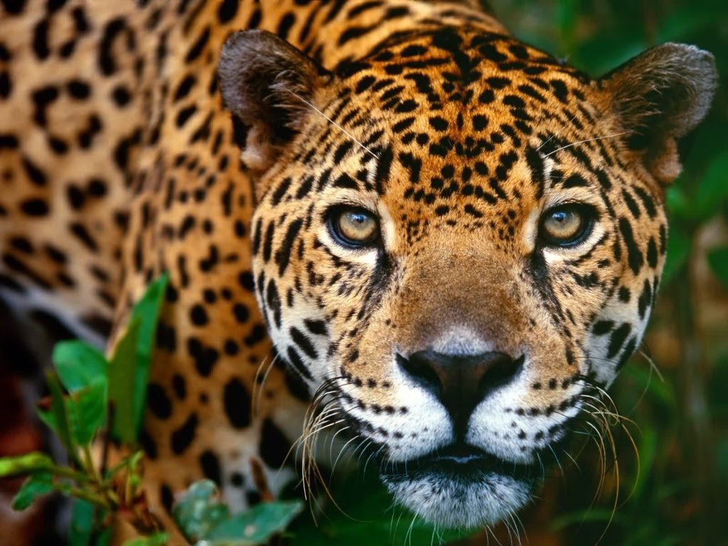 Animal Wallpapers Animal Jaguar Wallpapers 1024x768