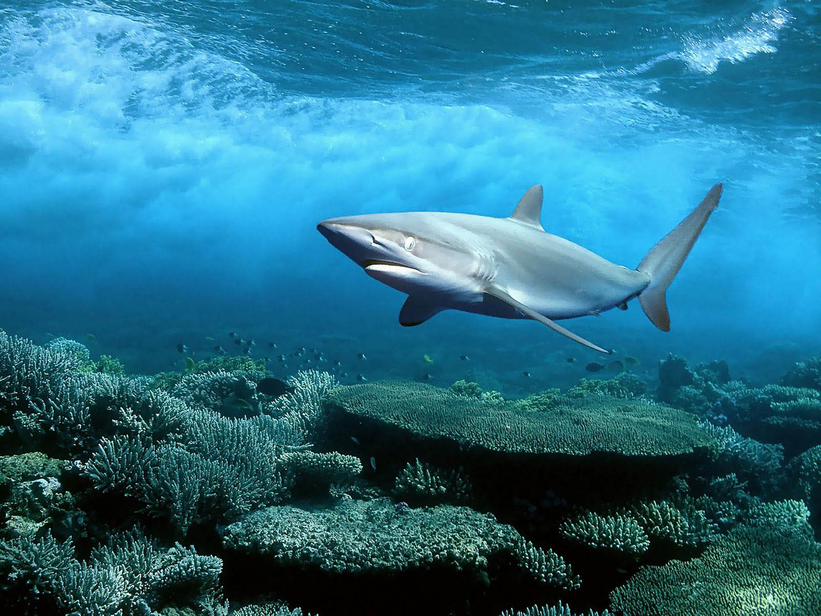 Tag Sharks Desktop Wallpapers Backgrounds Photos Picturesand 1600x1200