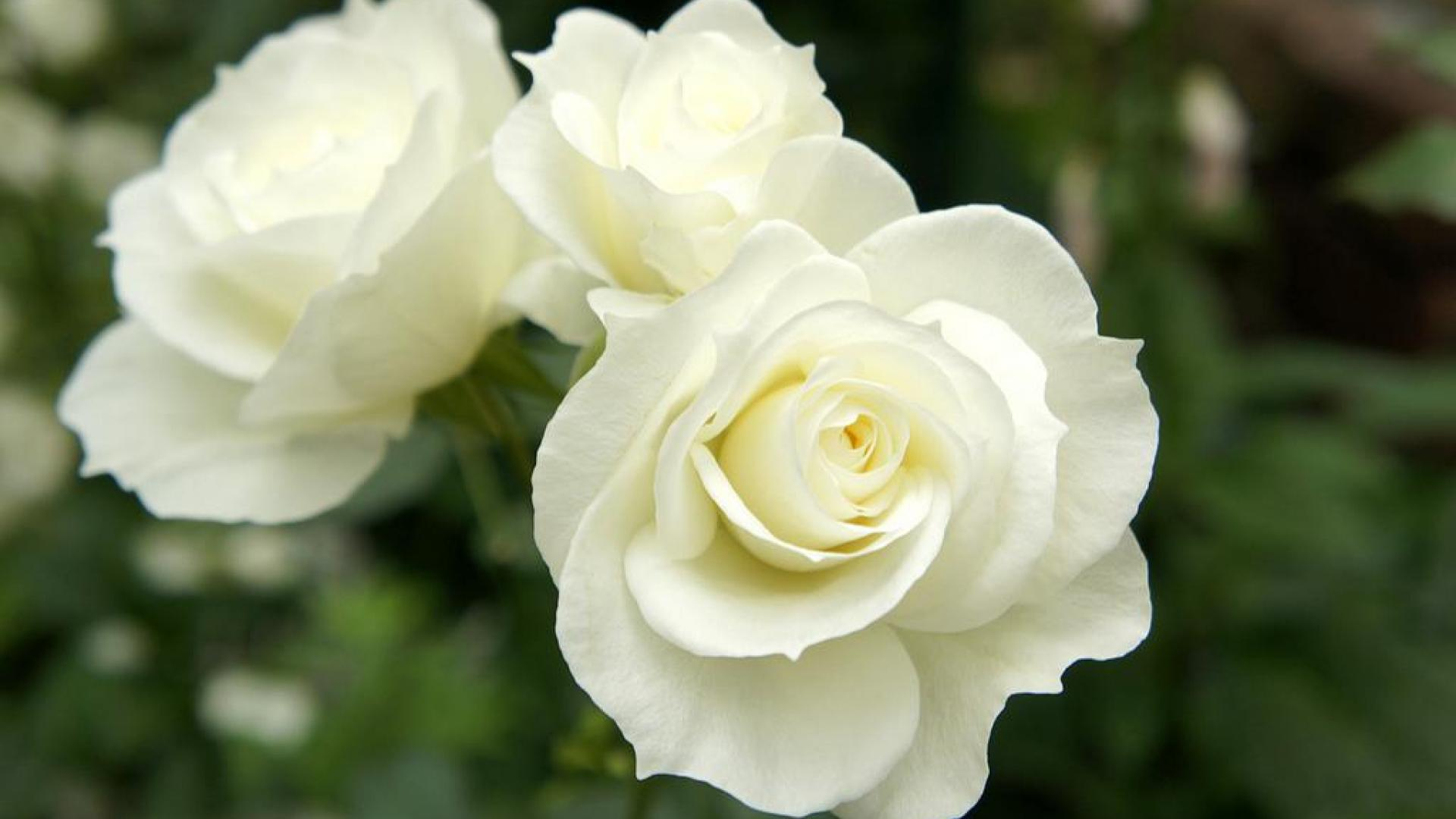 Beautiful white roses wallpaper wallpapersafari - Rosas amarillas significado ...