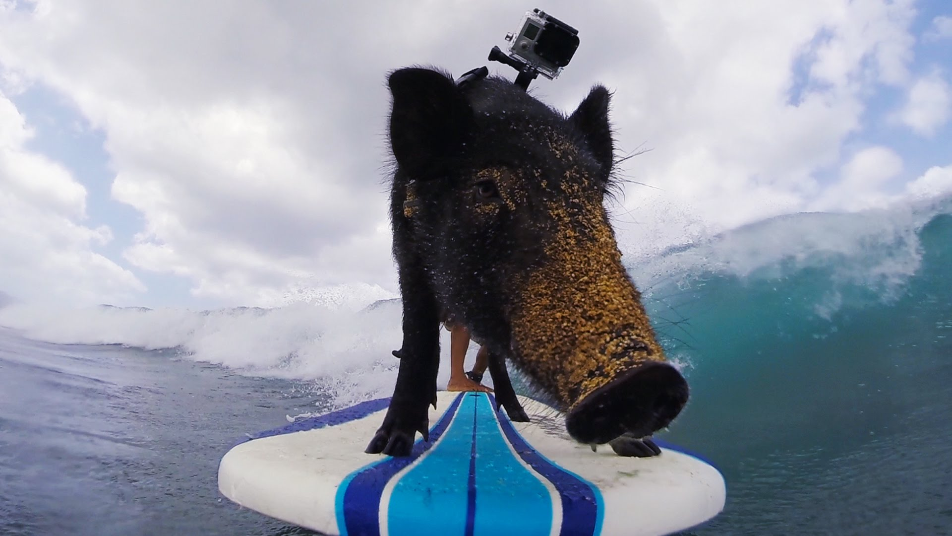 GoPro Video of Kamu the Surfing Pig Catching Waves in Oahu Hawaii 1920x1080