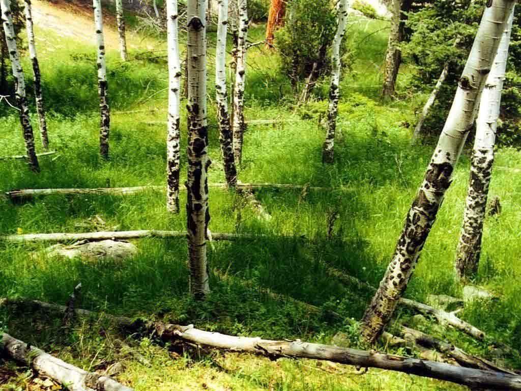 birch wood wallpaper 1024x768