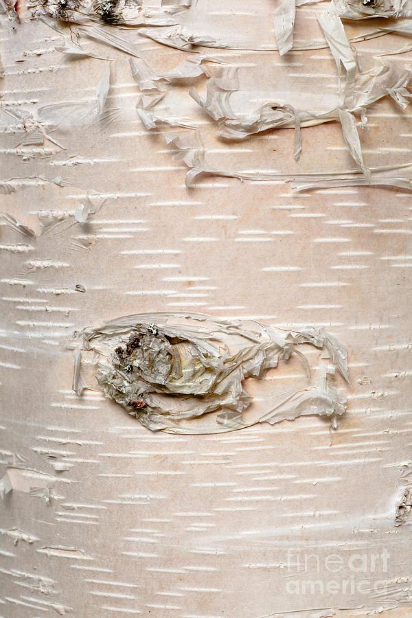 Paper Birch Betula Neoalaskana Bark Background by Stephan Pietzko 600x900