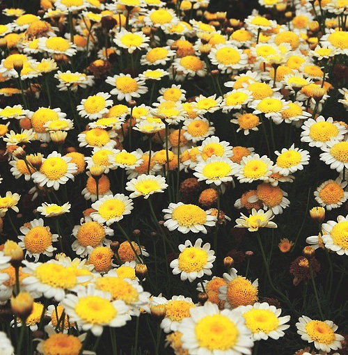 Daisies Tumblr Wallpaper Images Pictures   Becuo 500x510