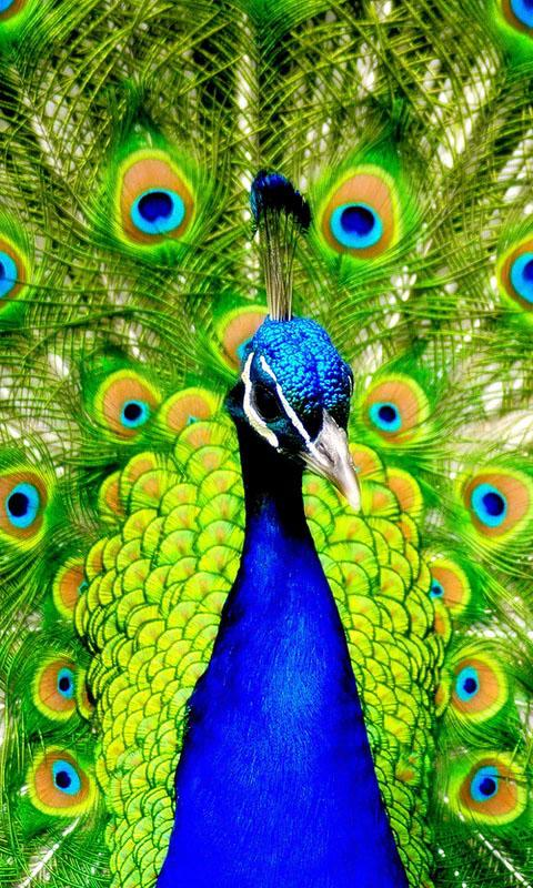 Android Phones Wallpapers Android Wallpaper Peacock 480x800