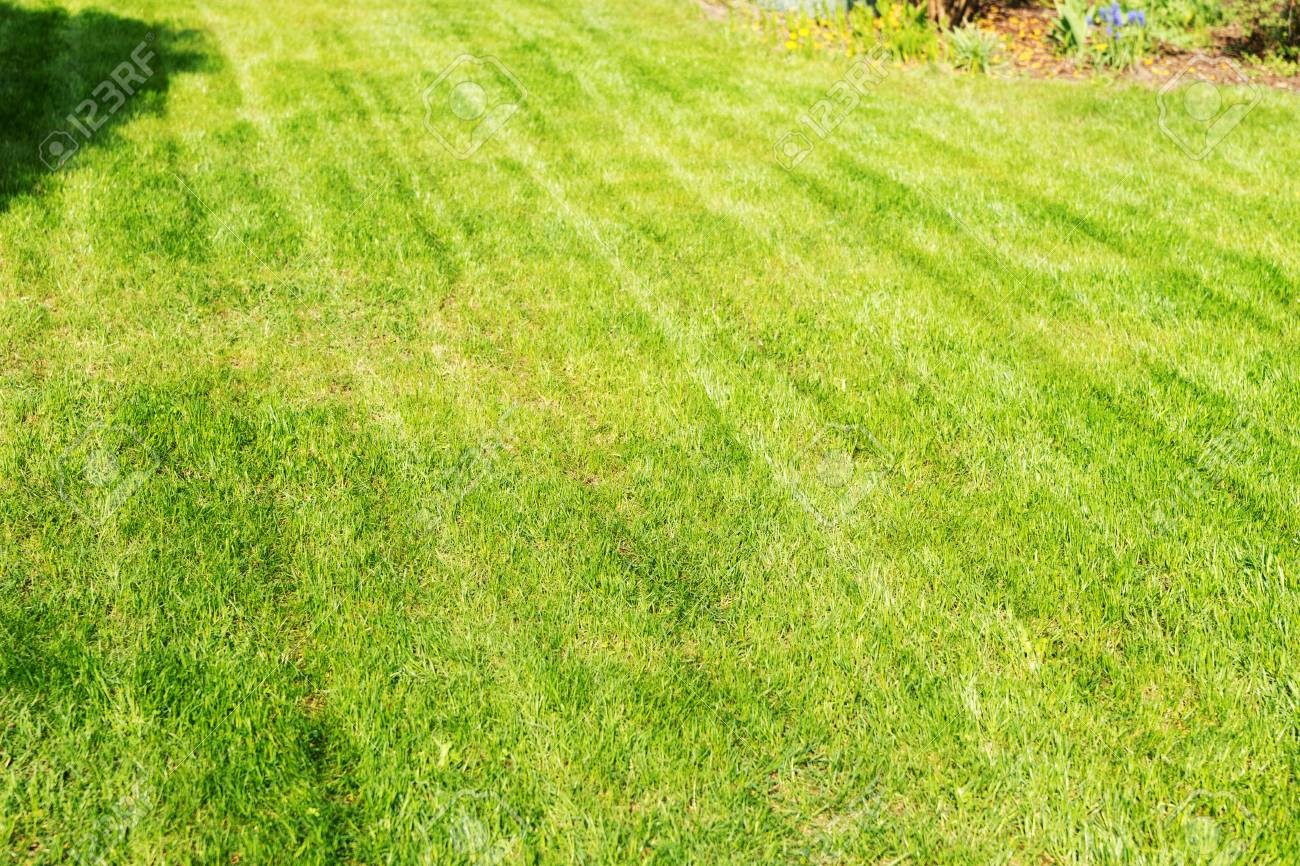 Freshly Mowed Lawn In The Garden Lawn Background Stock Photo 1300x866