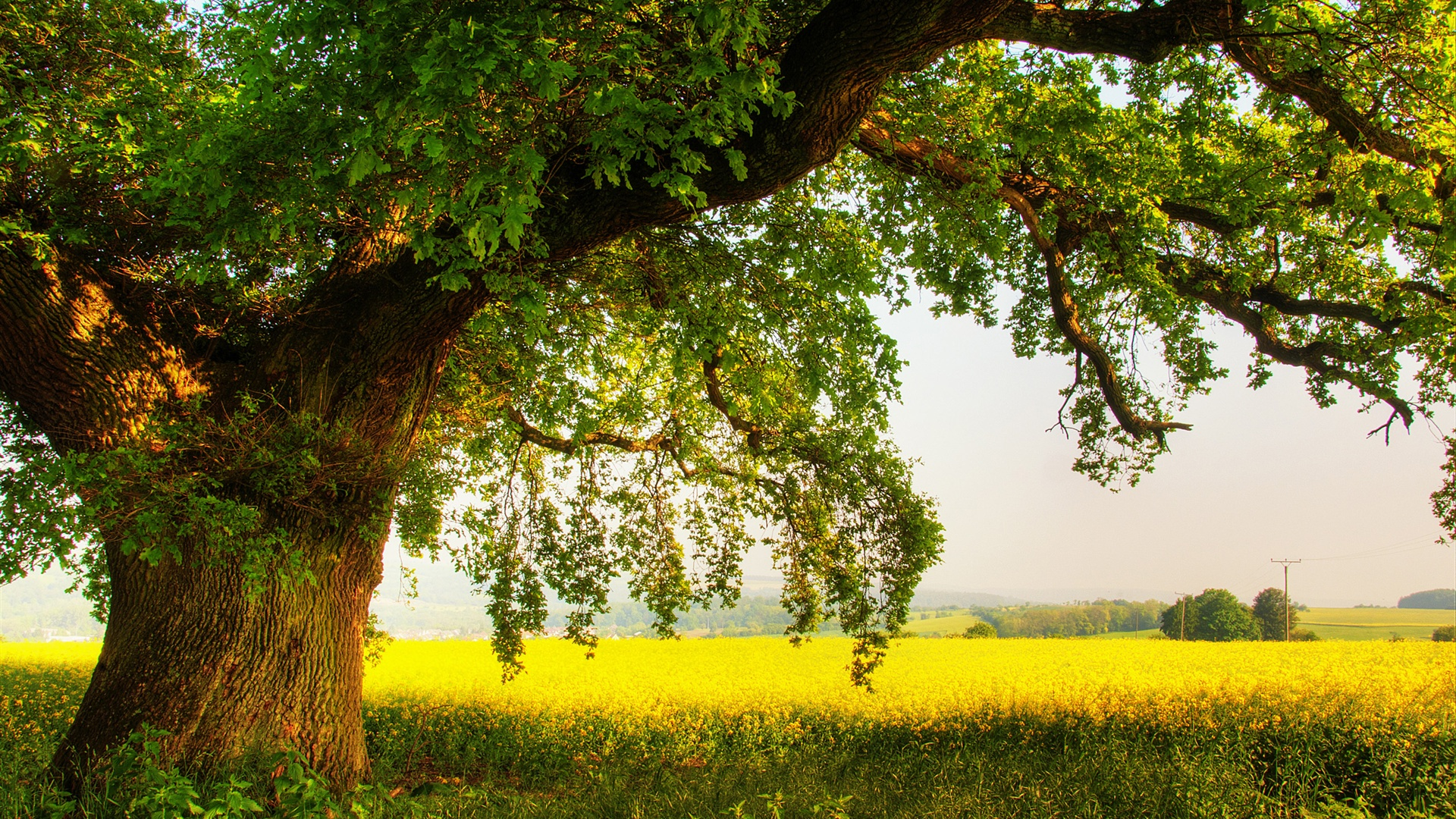Oak Tree Wallpaper HD 32960 1920x1080 px HDWallSourcecom 1920x1080