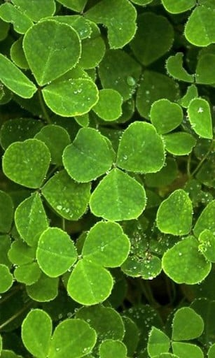 View bigger   Four Leaf Clover Wallpapers for Android screenshot 307x512