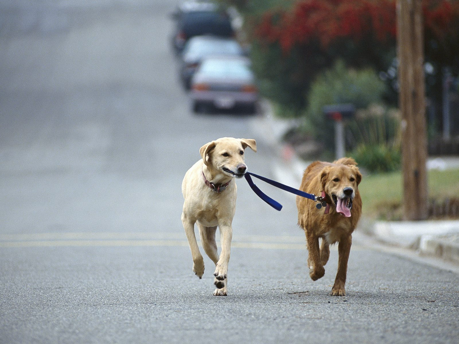 Dog Walking Golden and Yellow Labrador Retriever Mix 1600x1200