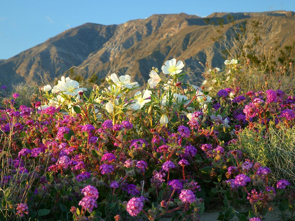 Spring flowers in the desert 1152x864