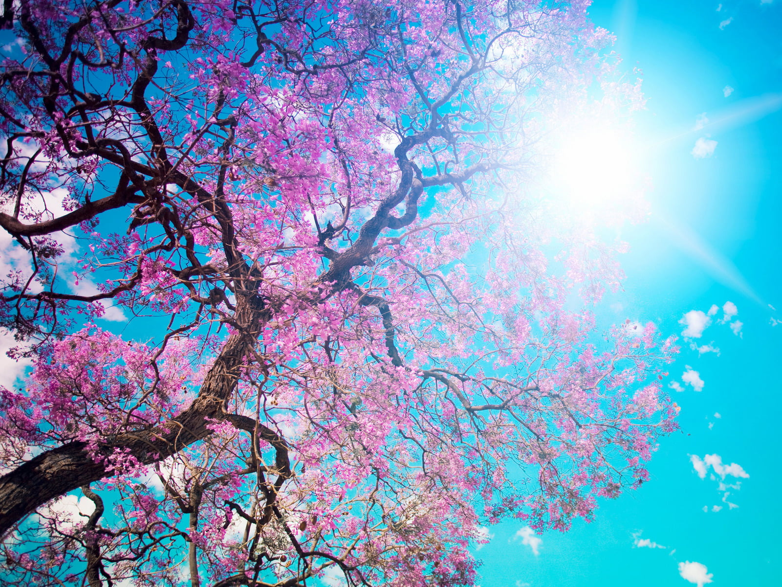 Worms eyeview photography of pink cherry blossoms HD wallpaper 1600x1200