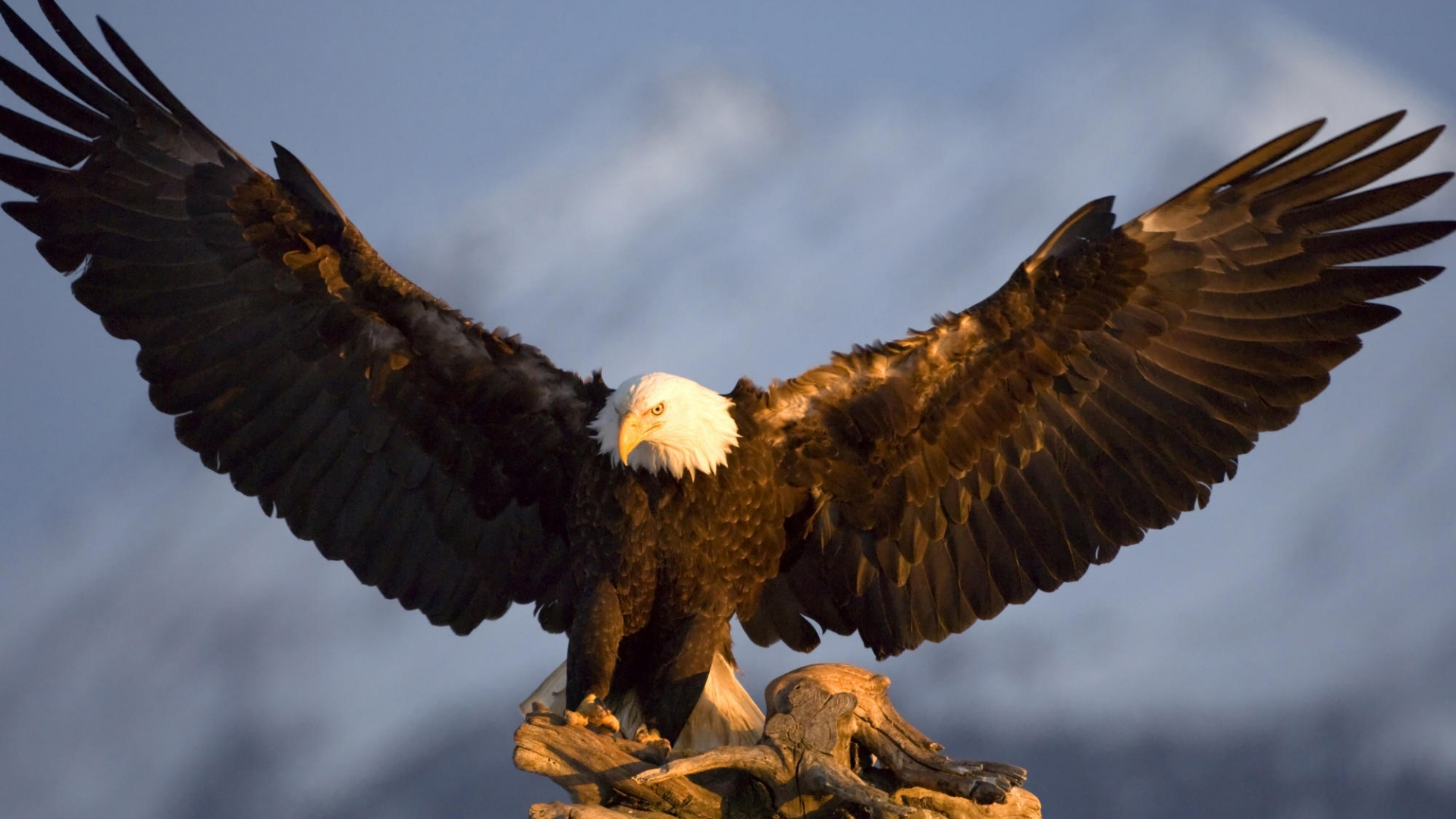 Bald Eagle HD Wallpapers Pictures Images Backgrounds Photos 1920x1080