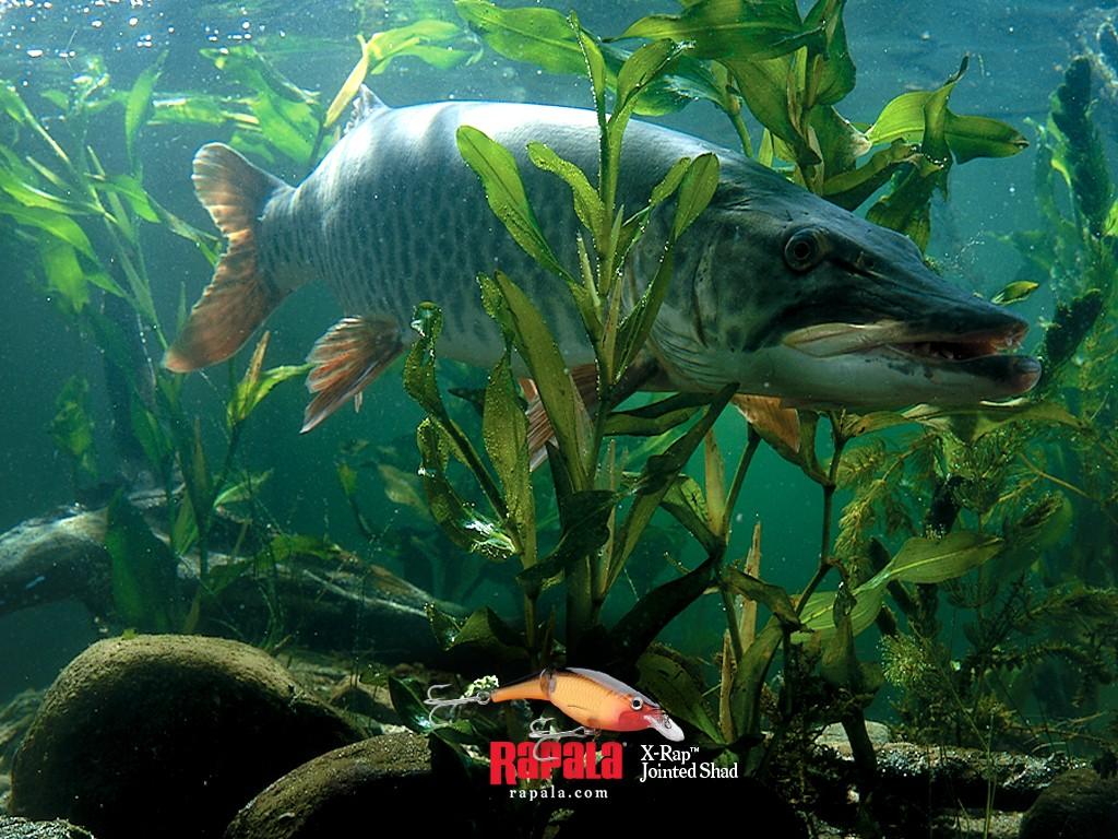 hd bass fishing wallpaper wallpapersafari