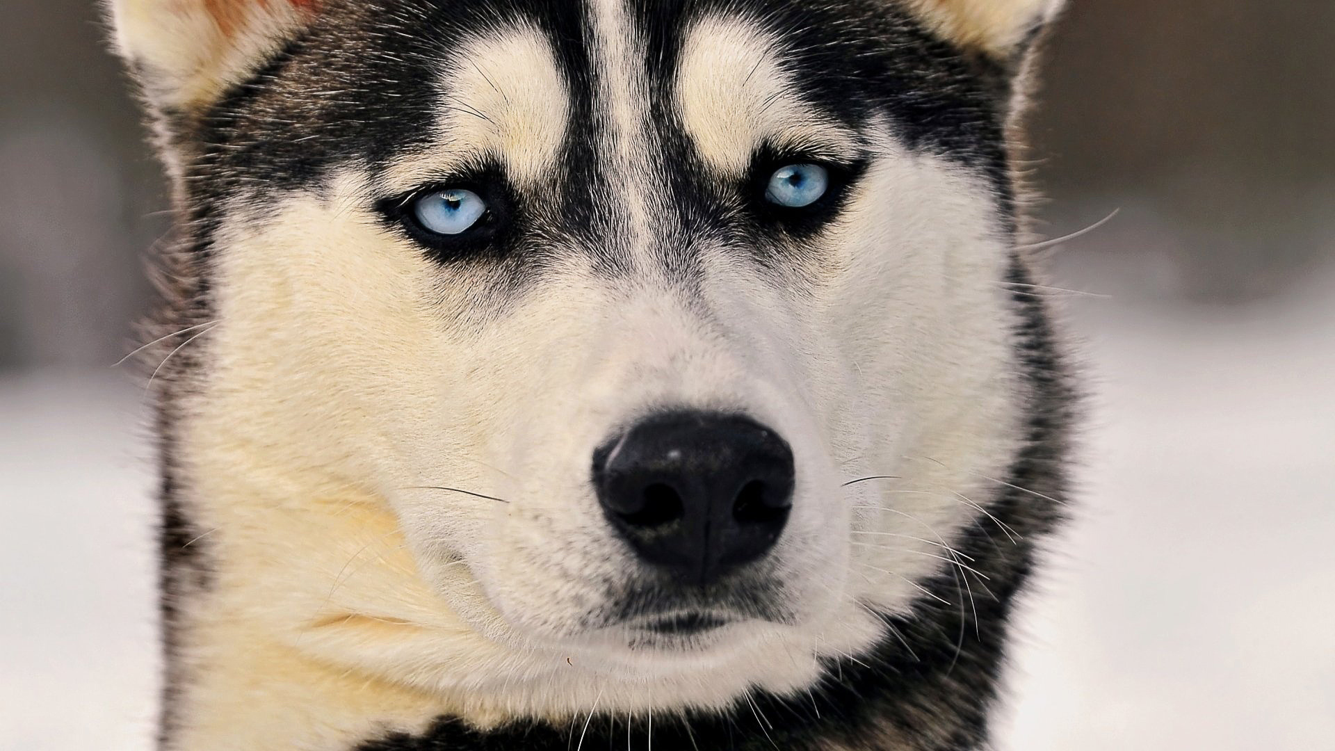 Cool Husky Wallpapers - WallpaperSafari